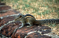 17253. Chipmunk in the hotel grounds. Galle Face Hotel. Colombo. Sri Lanka. 11.01.04