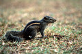 17255. Chipmunk in the hotel grounds. Galle Face Hotel. Colombo. Sri Lanka. 11.01.04